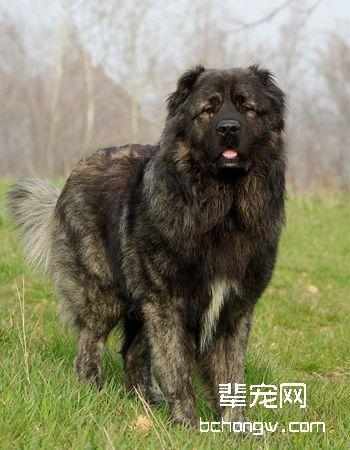 高加索牧羊犬