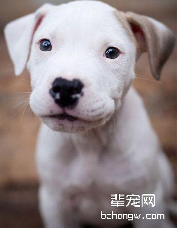 阿根廷杜高犬