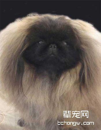 北京犬/京吧犬/狮子犬