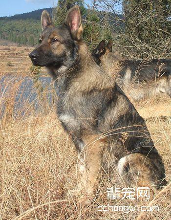 中国昆明犬