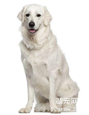 匈牙利库维斯犬