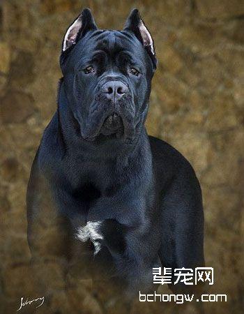 意大利卡斯罗犬