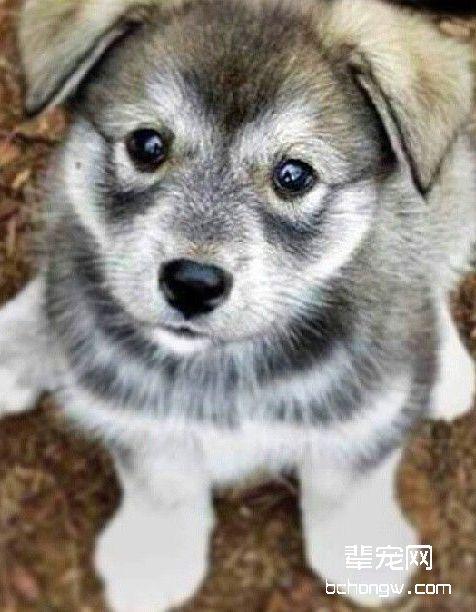 挪威猎糜犬