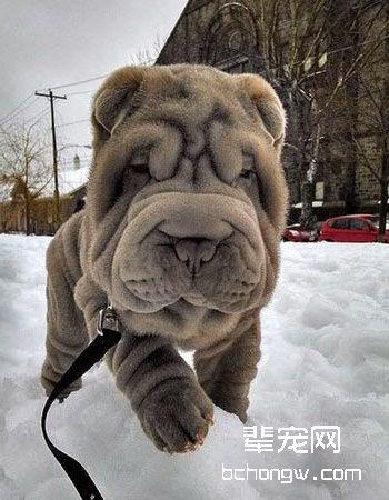 中国沙皮犬
