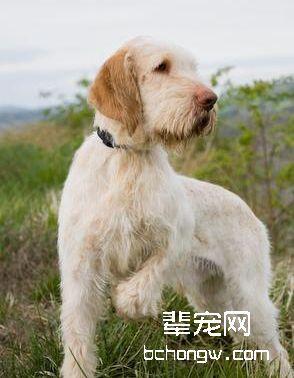 意大利史宾诺犬