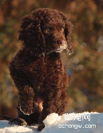 美国水猎犬