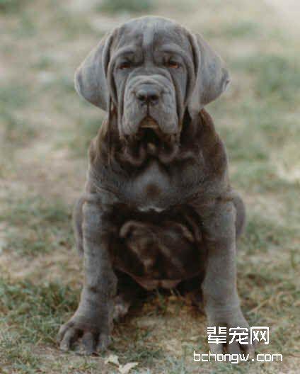 纽波利顿獒犬