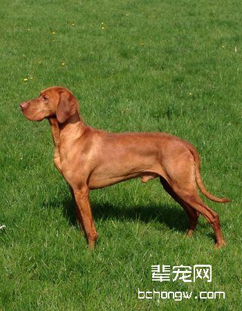匈牙利维斯拉犬