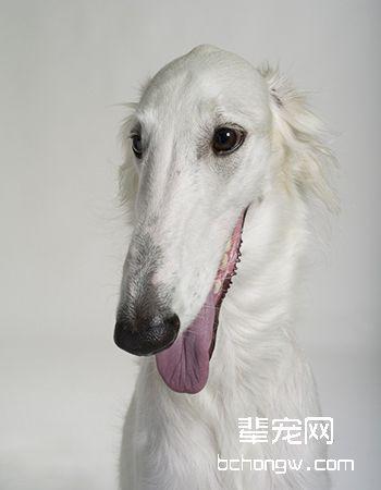 波索尔/俄罗斯猎狼犬