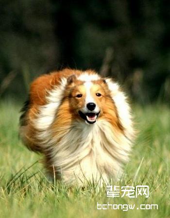 喜乐蒂牧羊犬