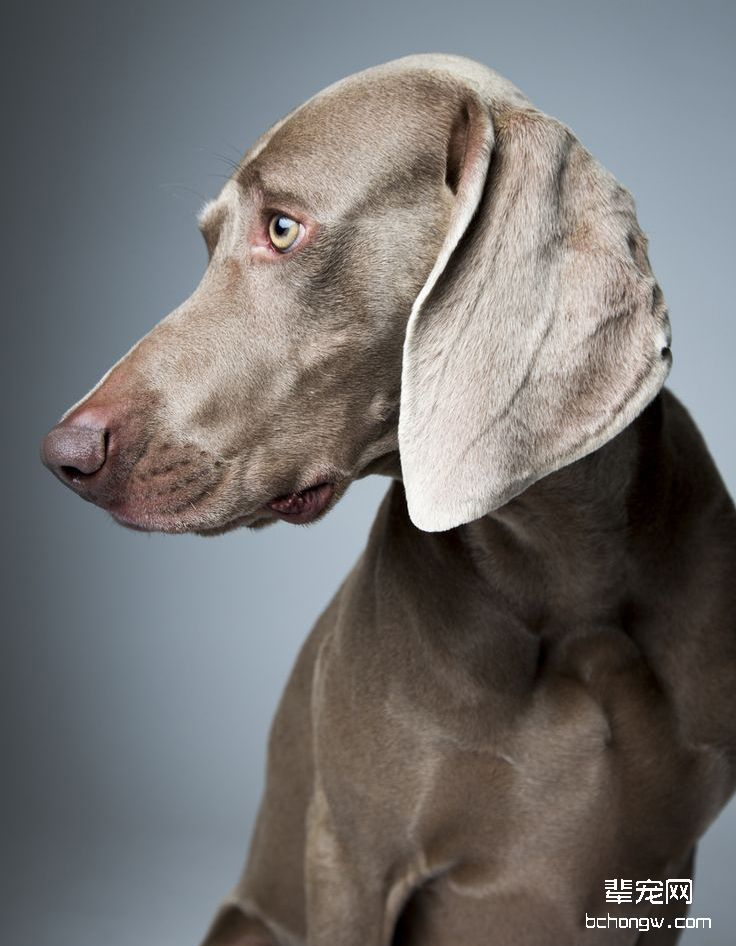 德国魏玛犬/威玛猎犬
