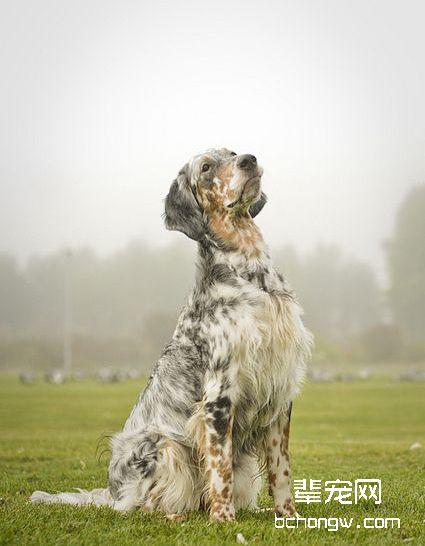 英国雪达犬