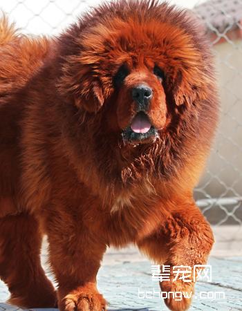 藏獒/西藏獒犬