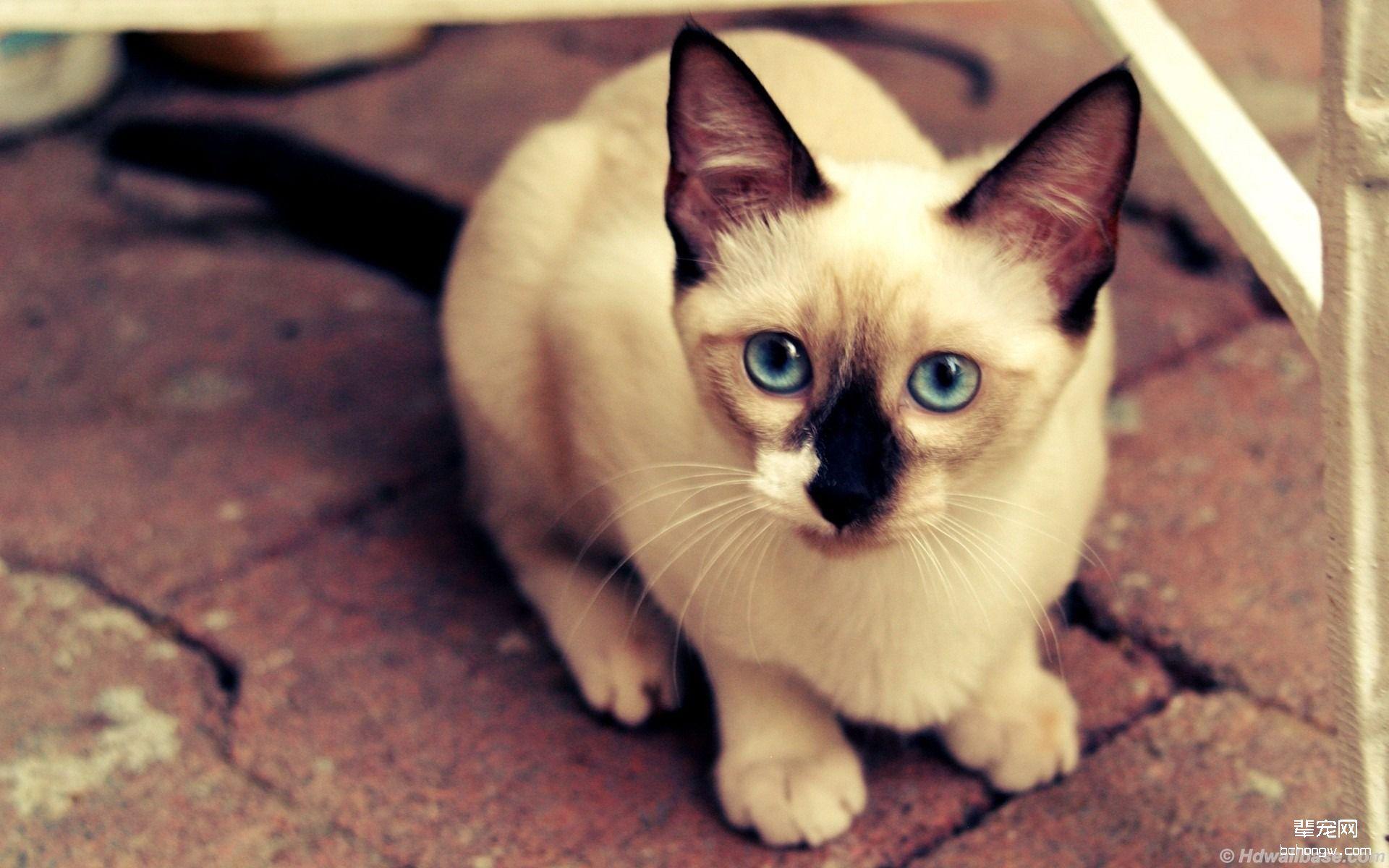 暹罗猫高清桌面壁纸