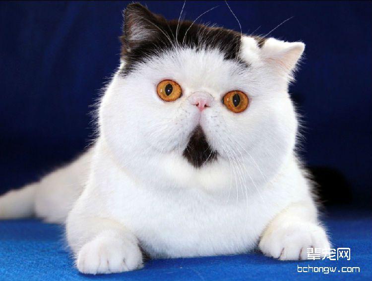 什么猫最好养最听话乖图片