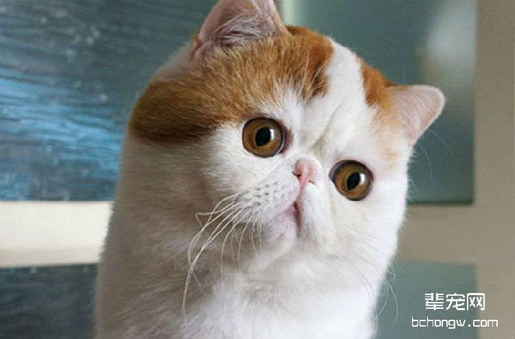 英国短毛猫的驯养方法