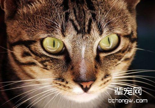 如何训练猫咪衔物