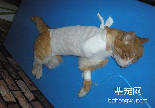 给猫咪换药的方法及注意事项