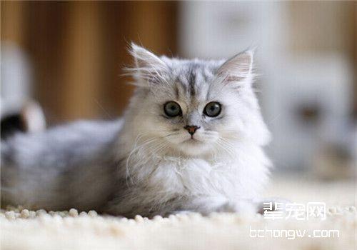 暹罗猫慢性牙龈炎的症状及治疗