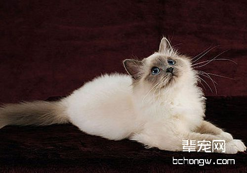 如何治疗猫咪粉刺