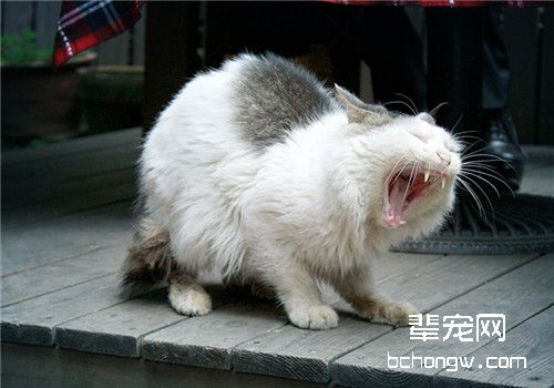 有效防止猫皮肤真菌传染的方法