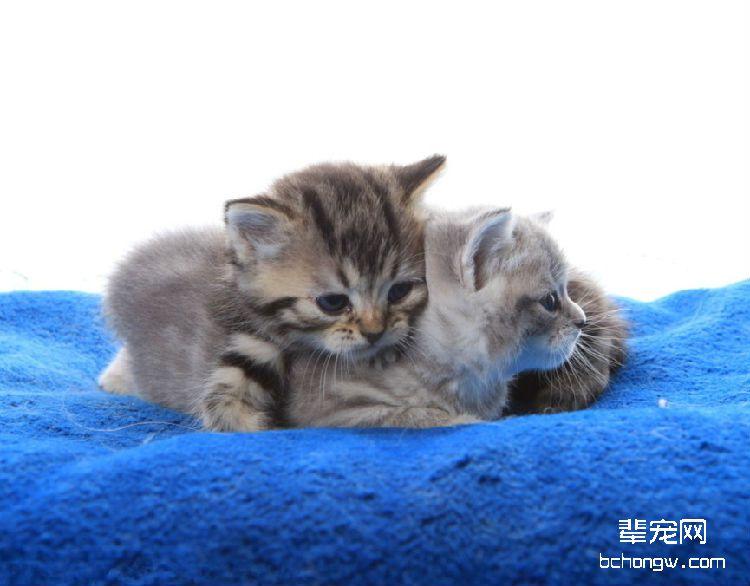 猫咪难产应该怎么办