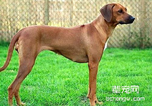 犬寄生虫性皮肤病之蜱虫感染