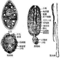 猪克氏伪裸头绦虫病的病因及防治措施