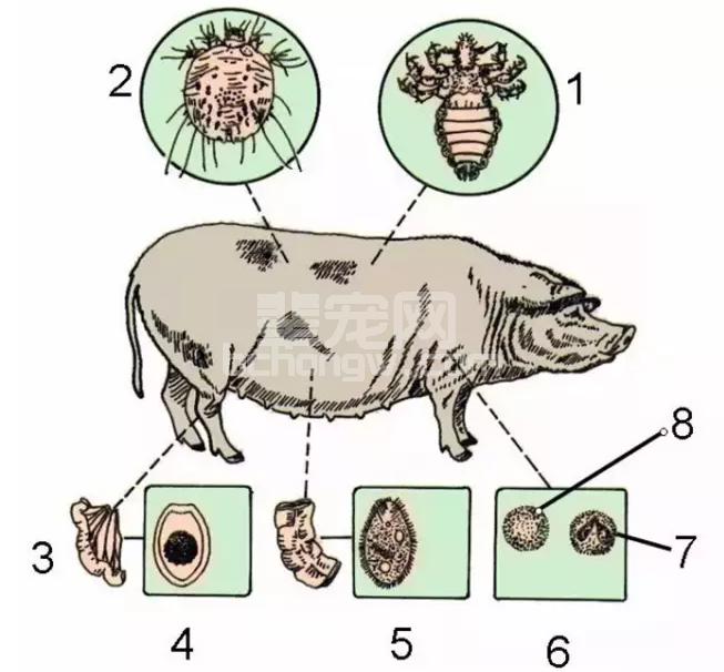 是谁偷走了猪场的钱—猪寄生虫病