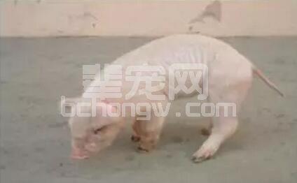 猪关节炎的成因和治疗方法有哪些呢?