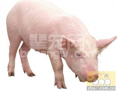 养猪之猪脑性链球菌的最佳预防治疗方法