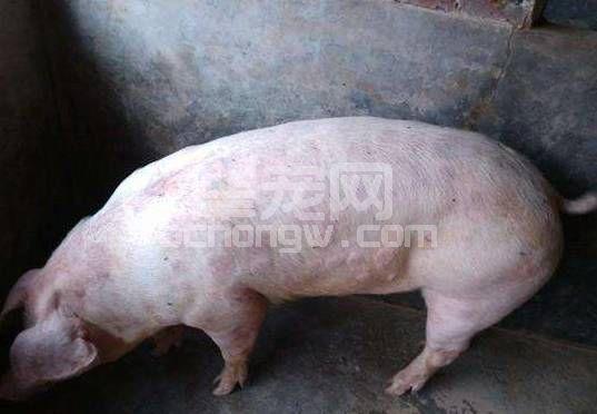 猪丹毒(同圆环、湿疹)的鉴别诊断与防治