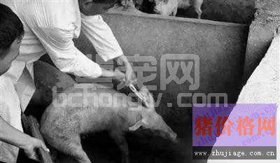 抗原含量越高,猪瘟疫苗就越好?