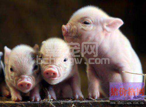 治疗猪流行性感冒使用柴胡效果好