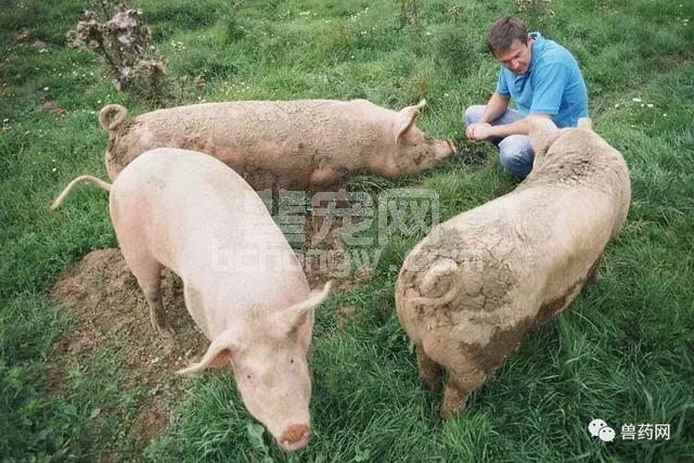 养猪户注意,春季冷热交替下防疫是重点
