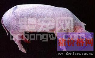 疑似高致病性猪蓝耳病疫情时怎么处置?