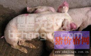 一例由引种导致猪场发生蓝耳病的控制案例