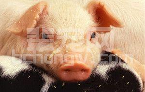 蓝耳病预警比控制更重要 养殖户要注意这些先兆