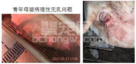 青年母猪产后无乳的3大问题,及对应解决措施