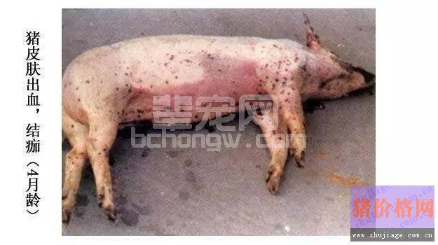 如何鉴别诊断及治疗猪弓形虫病?