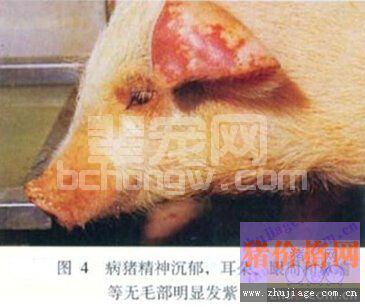猪弓形体病的分析与治疗措施