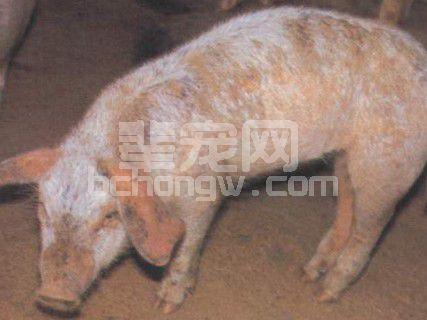 详谈:猪疥螨病发病原因及防治措施