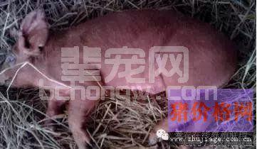 养猪场三大细菌性疾病的防治措施
