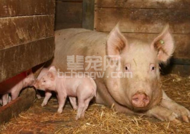 关于选种,养猪户最容易忽略的但是也是最重要的问题!
