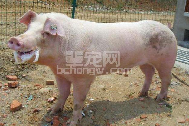 这个时候,猪场配种成绩总是很容易下滑,怎么办?