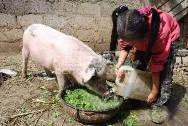 【催肥】养猪多年,你知道如何喂猪才长的快吗?