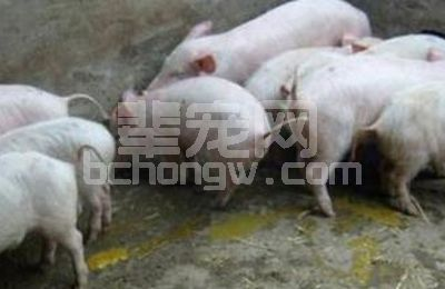 秋冬季节猪消化道疾病的危害和防治要点?