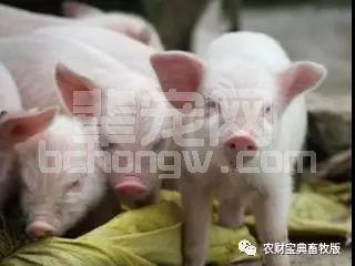 抢救猪中毒的四个解毒方法,一定要收藏!