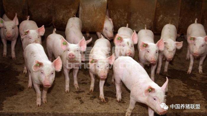 猪咳嗽用药后病情不见好,这几个原因猪农知道吗?