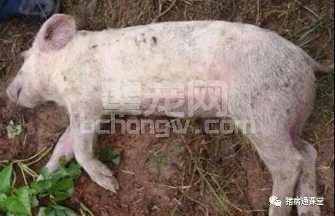 猪突然死亡主要病因分析,全了!